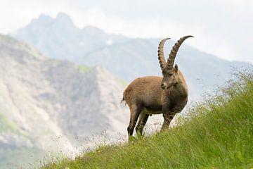 Een Alpensteenbok mannetje vastgelegd in het Alpenlandschap van Thijs van den Burg