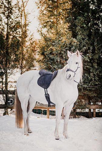 Wit paard in de sneeuw