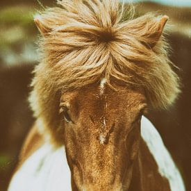 Ragnheiður sur Islandpferde  | IJslandse paarden | Icelandic horses