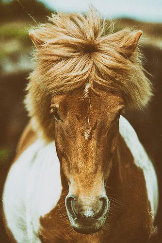 IJslands paard van Islandpferde  | IJslandse paarden