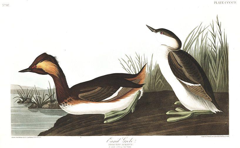 Geoorde Fuut van Birds of America