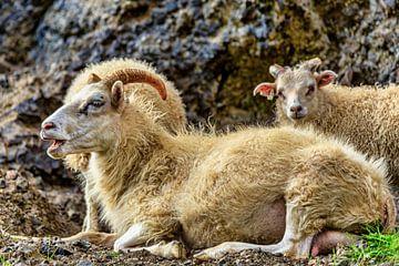 IJslande schapen van Easycopters