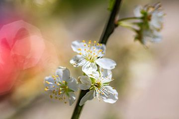 Birnenblüte im Frühling von Hans Vos Fotografie