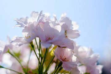 Japanse kers van Joke Beers-Blom