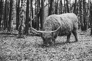Schotse Hooglander | Bussemerheide | Natuur | Fine Art | Artprint van Mascha Boot