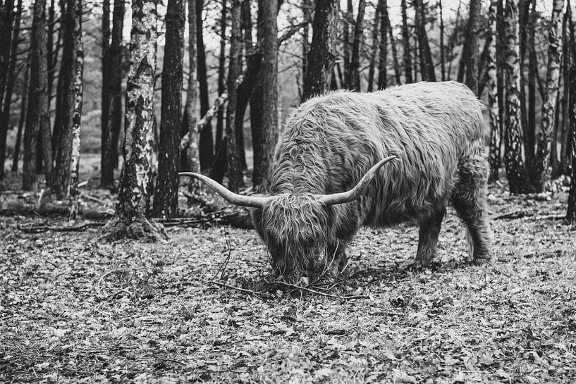 Highlander écossais | Bussemerheide | Nature | Beaux-Arts | Artprint sur Mascha Boot