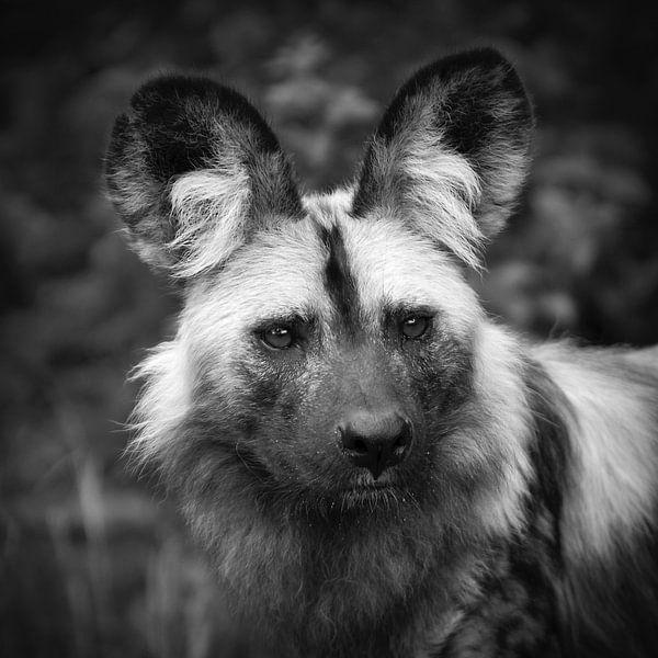 Chien sauvage africain sur Frans Lemmens