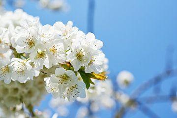 Birnenblüte von Fred Roest