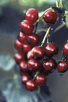 Rote Beeren sur Rosi Lorz