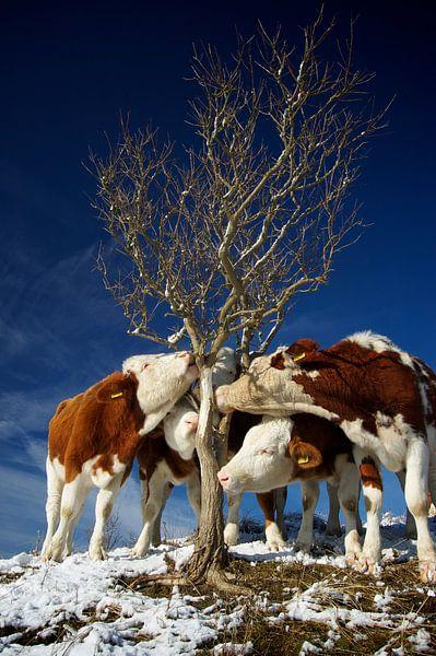 tree huggin' cows