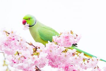Halsbandparkiet man zijkant in Japanse bloesem van Menno van Duijn