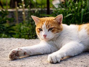 Katze in der Abendsonne von Stijn Cleynhens