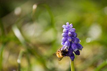 Honing bij op een lavendel bloem van Bas Witkop