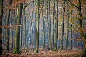 beukenbomen in Speulderbos van
