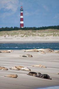 Zandbank met zeehonden op het wad bij het Amelandergat van