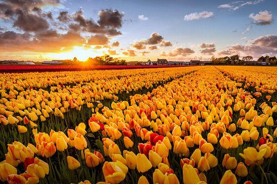 Gele tulpen uit de bollenstreek