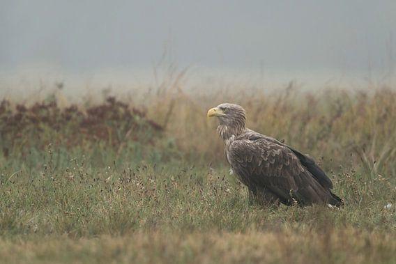 White tailed Eagle / Sea Eagle ( Haliaeetus albicilla ), adult bird, sitting in grassland