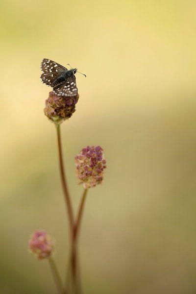 Aardbeivlinder op Kleine Pimpernel van Gonnie van de Schans