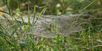 Wiesenspinnen von Peter Morgenroth