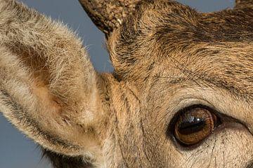 Close-up van damhert van Yvonne van der Meij