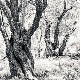 Les oliviers anciens sur Bep van Pelt- Verkuil