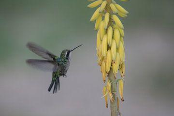 Kolibrie van Gertjan Hesselink
