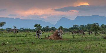 Zebra's in Zuid Afrika van Paul van der Zwan