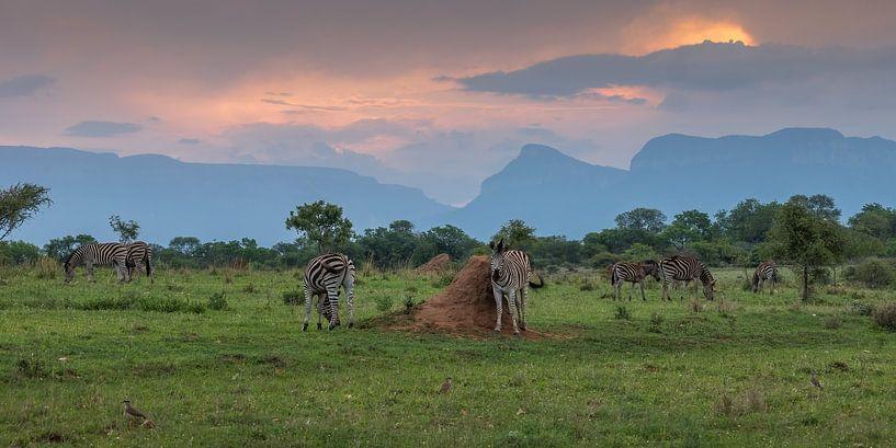 Zebra's (ZA) van Paul van der Zwan