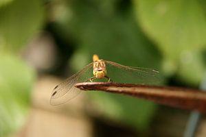 Libelle close-up 2