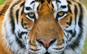 Tiger-Portrait von Harry Eggens
