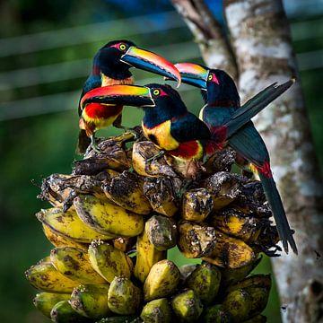 Tropische vogels arassari, tropical birds