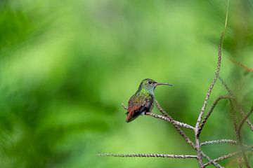 Kolibri von Merijn Loch