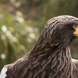 Steller's Sea Eagle sur Erik Zachte