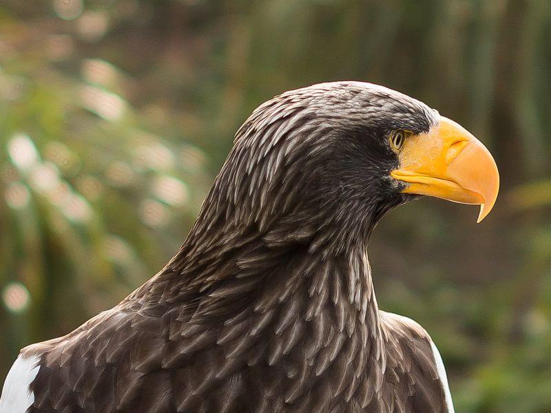 Steller's Sea Eagle von Erik Zachte