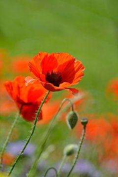 Klaprozen l Poppies von Henriëtte Hoffs