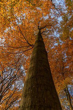 grote boom in de herfst. van Robin van Maanen