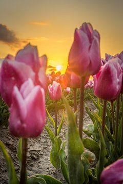 Tulpen in de ochtendgloed van Rossum-Fotografie