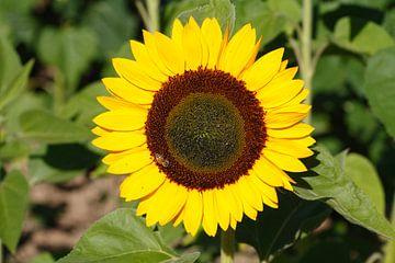 Sonnenblumen,  (Helianthus annuus), Bremen, Deutschland, Europa