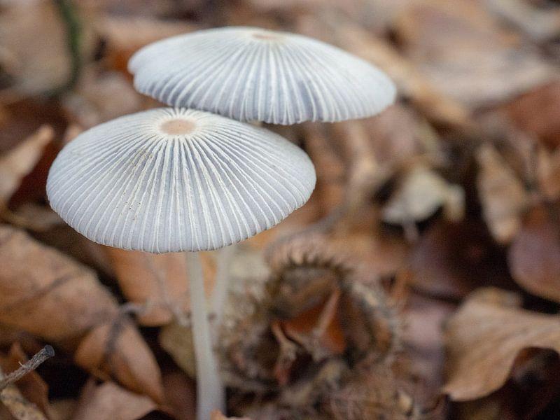 Hazenpootjes paddenstoelen in het bos van Margreet van Tricht