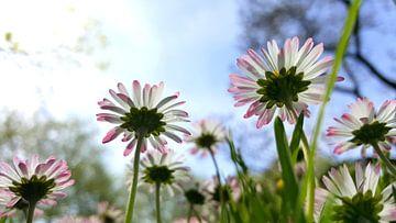 Gänseblümchen von Renate Dohr