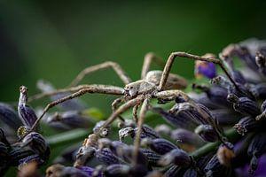 Eine Spinne auf der Jagd von Robbert De Reus