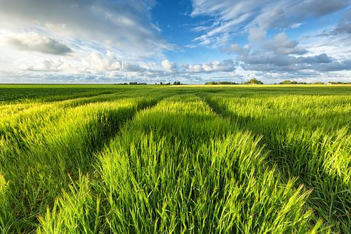 Graanvelden in de zon - Groningen, Nederland