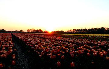 Tulipes sur