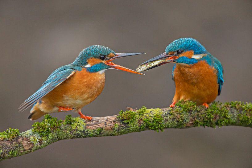 Fischübertragung Eisvögel im Wurf von Jeroen Stel