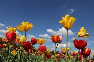 Tulpenwiese van