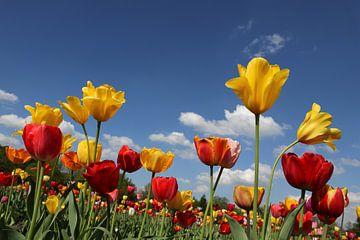 Tulpenwiese van Marcel Schauer