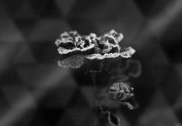 gefrorene Rose schwarz-weiß von Ribbi The Artist
