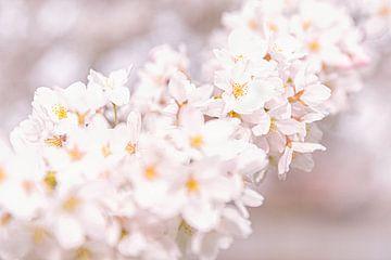 Kirschblüte von TIZFotografie