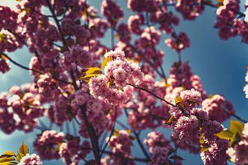 Bloesems roze 07 van FotoDennis.com