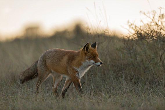 Rotfuchs ( Vulpes vulpes ) läuft in der Dämmerung durch hohes Gras, herbstliches, weiches und warmes
